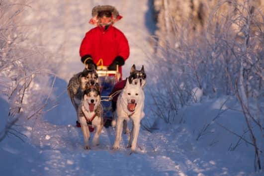 Fyra slädhundar drar hundsläde på en övernattningstur med hundspann i Jokkmokk skogar.