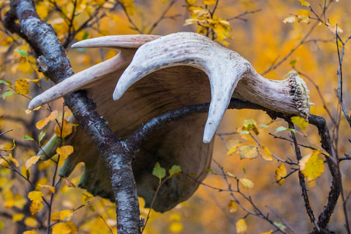 Moose antler in autum colors. Wildlife expedition in Sarek National Park.
