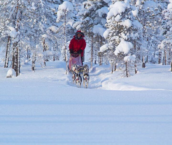 Dog mushing in the taiga of Swedish Lapland.