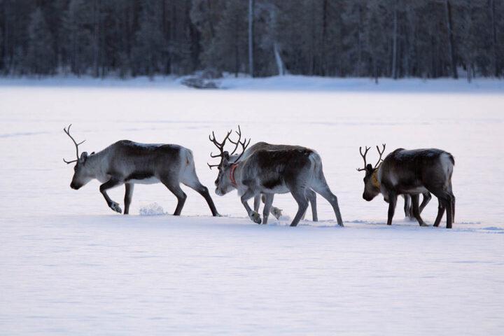 Renar plumsar i snö på lappländsk sjö.